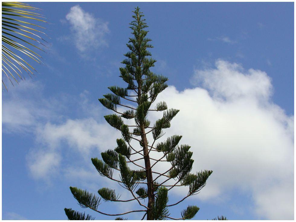 Guadeloupe Araucaria Pin De Norfolk