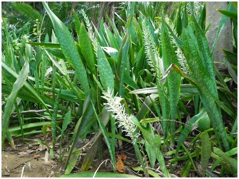 Mayotte sansevi re sanseviera - Langue de belle mere plante ...